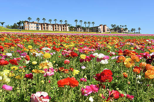 Carlsbad flower field by Dung Ma