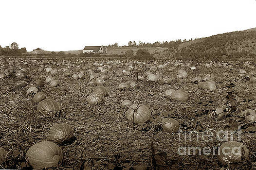 Carmel Mission pumpkins fields Circa 1890 by California Views Mr Pat Hathaway Archives