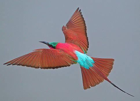 Carmine bee-eater in flight by Johan Elzenga