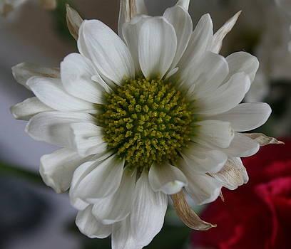 Carnation by Ashley Vaughn