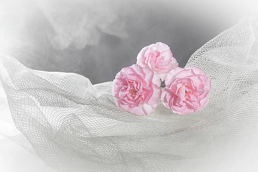 Carnations by MissElisabeth