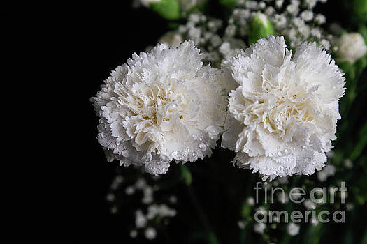 Carnations by Tracy Hall