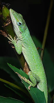 Warren Sarle - Carolina Anole
