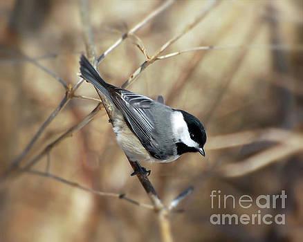 Carolina Chickadee - Birds at Bisset Park by Kerri Farley