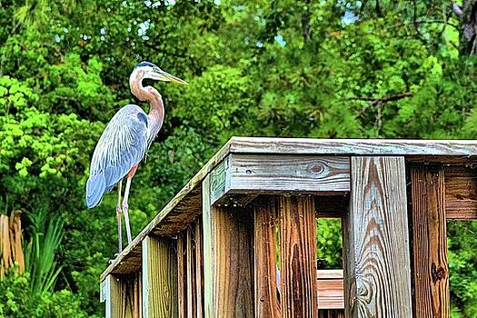 Carolina Great Blue Heron by James Potts