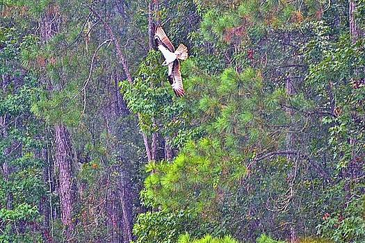 Carolina Osprey in Flight by James Potts