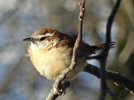 Carolina Wren by Kenna Westerman