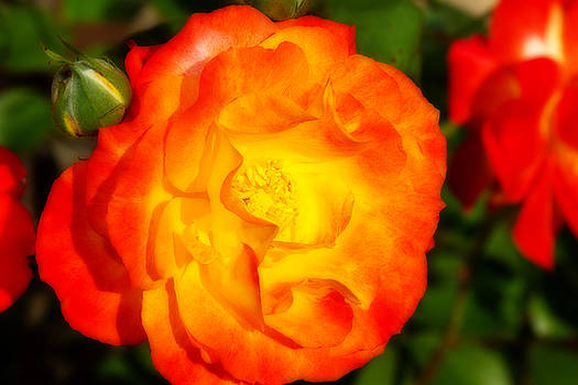 Carolyn's Roses by Barry Jones