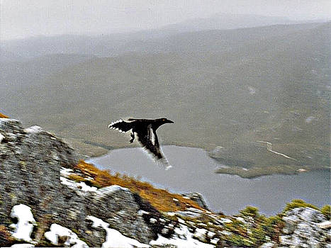 Carrawong in Flight over Cradle Mountain by Sarah King
