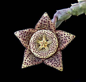 Michalakis Ppalis - Carrion succulent flower