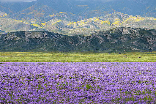 Carrizo Plain - Lake Phacelia by Alexander Kunz