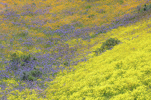 Carrizo Plain Tricolor by Alexander Kunz