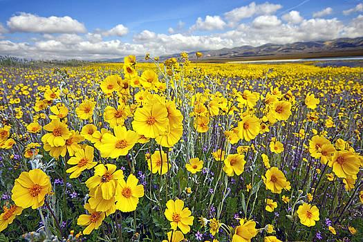 Carrizo Plain Wildflowers by Chuck Brittenham