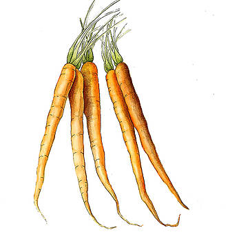Carrot Variation by Fran Henig