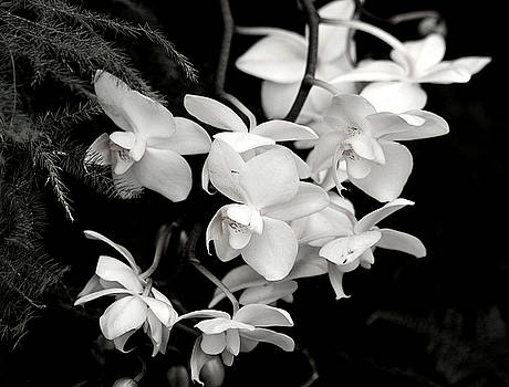 Cascading Orchids in Black and White by Sheila Brown