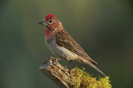 Cassin's Finch by Doug Herr