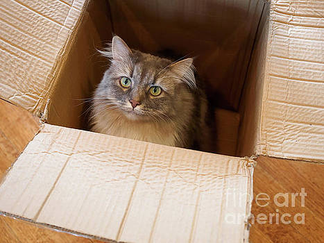 Cat in a Box by Louise Heusinkveld