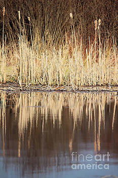 Cat Tail Reflections by Kristi Beers-Mason