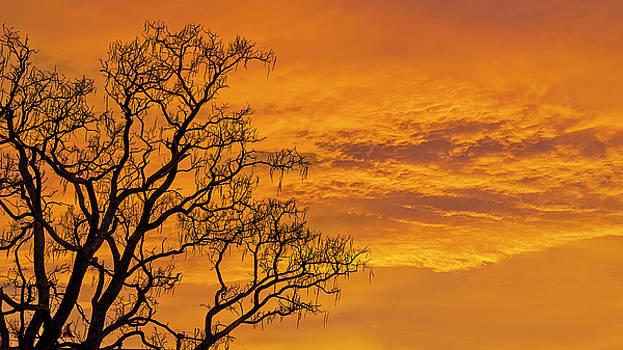 Catalpa Tree Sunrise by Scott Cordell