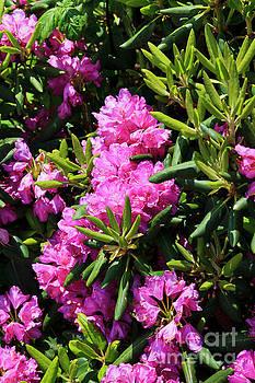 Catawba Rhododendron Blooming by Jill Lang