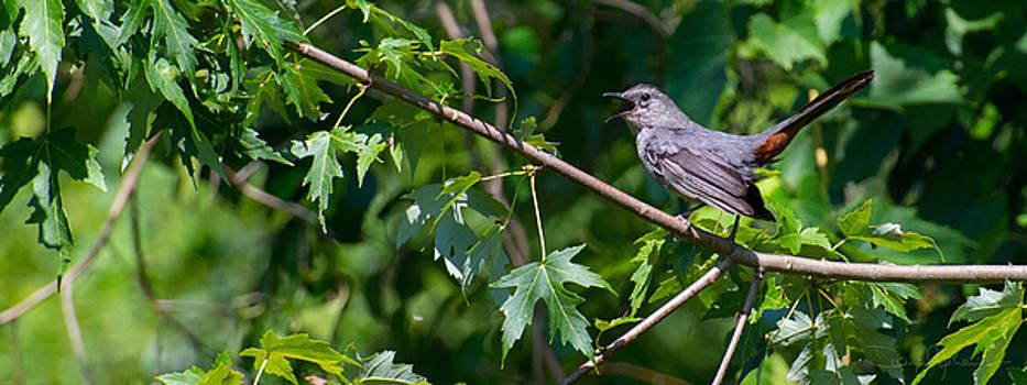 Catbird Calling by Doug Mathewson