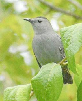 Catbird by Sumoflam Photography