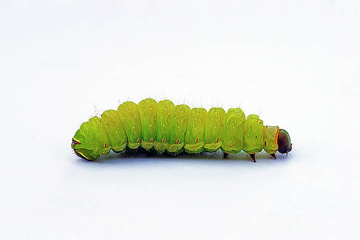 Caterpillar by Bill Morgenstern