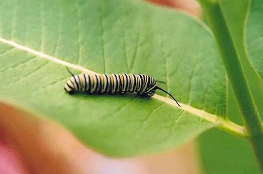Caterpillar by Kathy Schumann