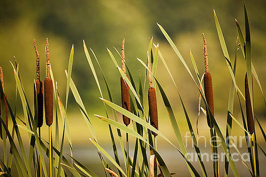Cattails by Sharon Dominick