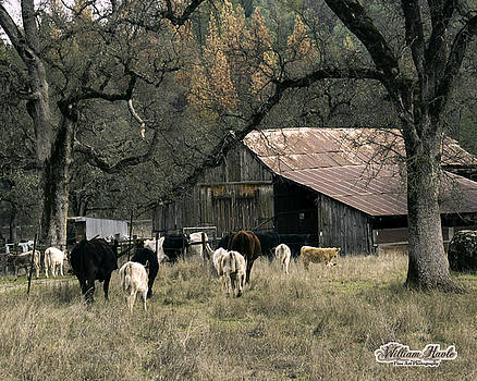 Cattle at McCourtney Barn by William Havle