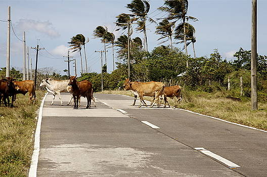 Cattle crossing.  by Christopher Rowlands