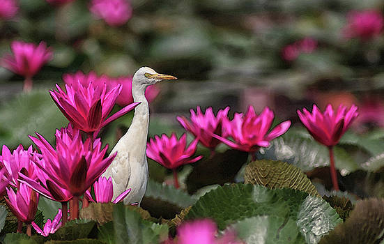 Cattle Egret amongst Waterlilies by Sandeep Gangadharan