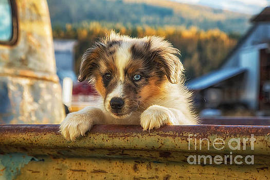 Cattle Pup 1 by Danny Nestor