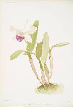 Ricky Barnard - Cattleya Hybrida Parthenia