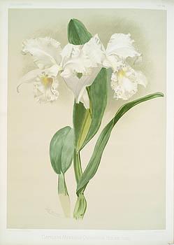 Ricky Barnard - Cattleya Mendelii Quorndon