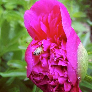 Caught This Bee Diving In And The Peony by Jeff Foliage
