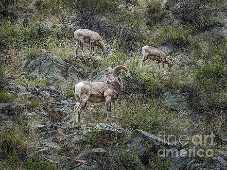 Big Thompson Bighorn by Lynn Sprowl