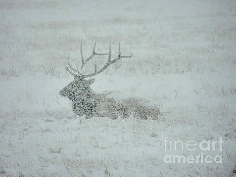 Elk in a Snowstorm by Lynn Sprowl
