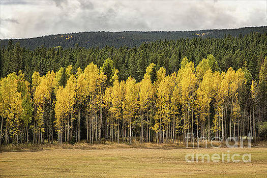 Aspen Grove by Lynn Sprowl