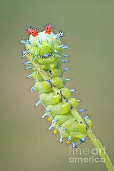 Cecropia Caterpillar by Karen Hofmann