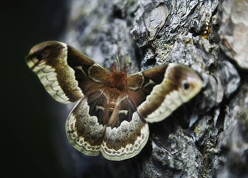 Cecropia Moth by Gary Shepard