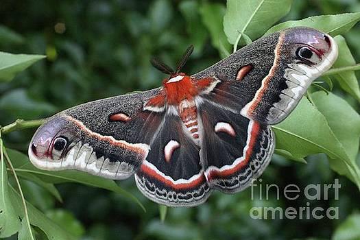 Cecropia Moth  by Matt Cormons