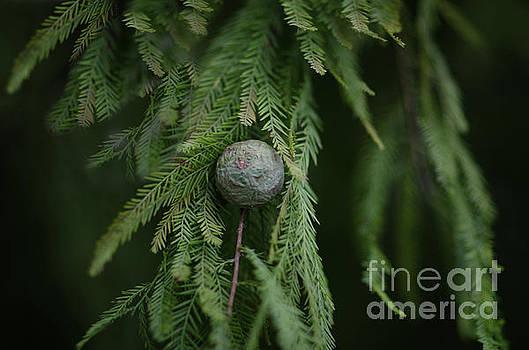 Dale Powell - Cedar Tree Berry