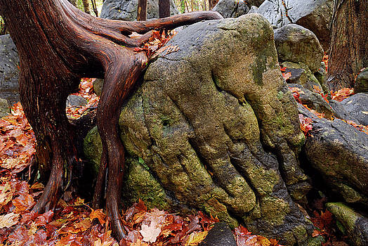 Reimar Gaertner - Cedar tree clinging to a weathered rock in the Fall