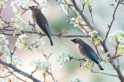 Cedar Wax Wing Pair by Jim Fillpot