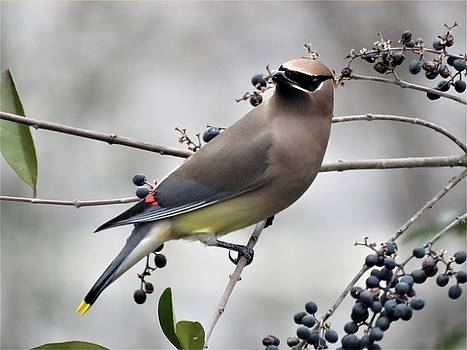 Cedar Waxwing 1 by Kathy Long