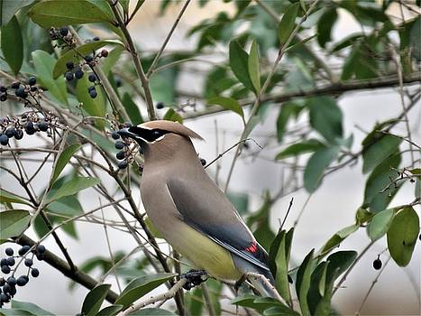 Cedar Waxwing 3 by Kathy Long