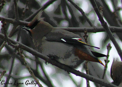 Cedar Waxwing by Carrie Gallop