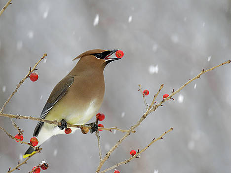 Cedar Waxwing Songbird with a Brilliant Red Berry by Scott Leslie