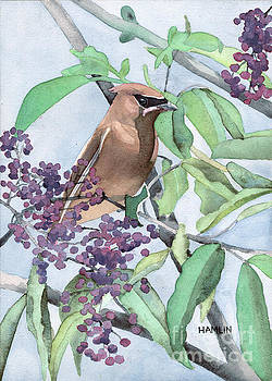 Cedar Waxwing with Serviceberries by Steve Hamlin